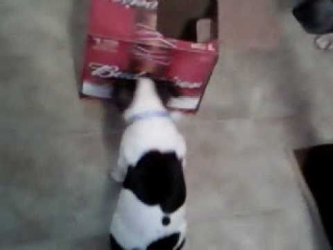 dog tries to drink beer.. funny