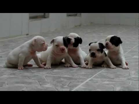 xxx 786 - Miniature French bulldog puppies for sale. We have 2 Females and 3 female French bulldogs for sale visit our web site @ http://www.mauiexpokennel.com.