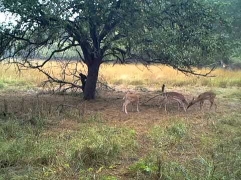 AcornCamera Ltl Acorn 6310 WMC MC video - Fighting fallow deer calves