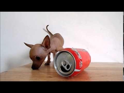 Chihuahua de Bolsillo Hembra Micro Bolsillo Tabaco