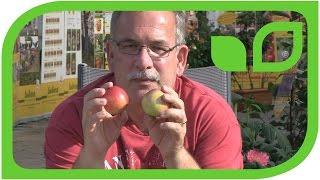 Malini Subito, the early columnar dessert apple
