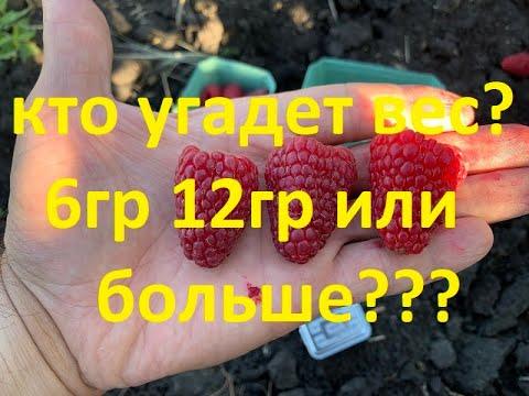 Ягоды гиганты-сорт Нижегородец