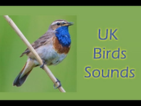 Video of UK Birds Sounds