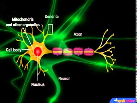 How does neuron works
