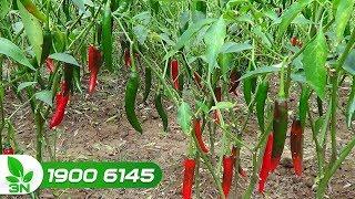 Trồng trọt | Những lưu ý khi chăm sóc ớt trong mùa mưa