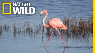 Flamingo Mysteriously Appears in a San Diego Salt Marsh, Far From Home | Nat Geo Wild by Nat Geo WILD