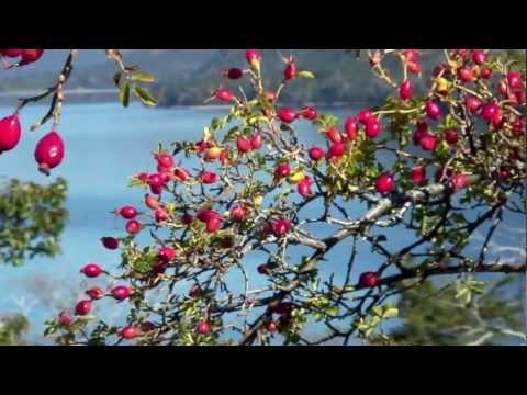 la rosa canina: sorgente di benessere