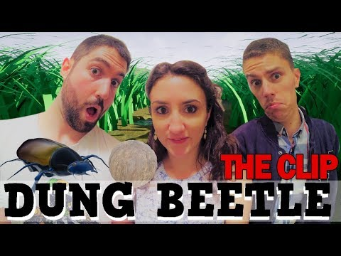 DUNG BEETLE CLIP