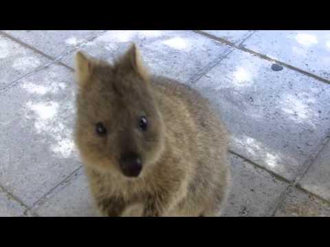 Quokka – A kurta farkú kenguru