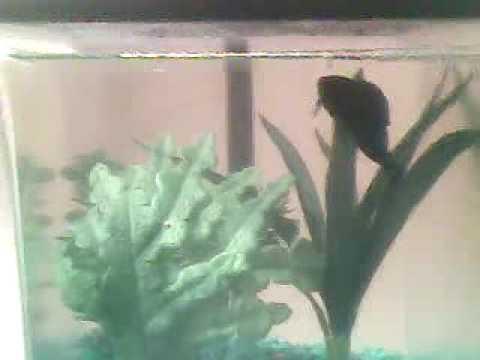 My Betta Fish (R.I.P.)