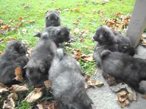 Keeshond Puppies Outside Playing