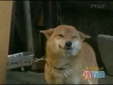 醒目狗見主人即笑!好可愛!