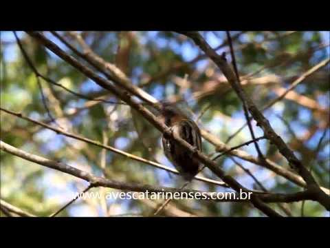 Pica-pau-anão-carijó - Cristiano Voitina
