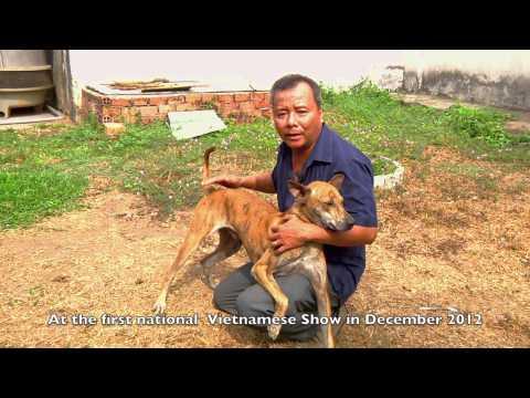 Phu Quoc dog - chó Phú Quốc-photo