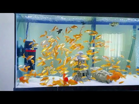 MASSIVE XL GOLDFISH ARMY in my AQUARIUM!_Akvárium