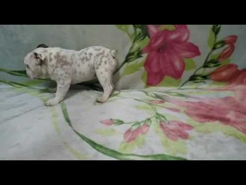 BEAUTIFUL ENGLISH BULLDOG MALE PUP