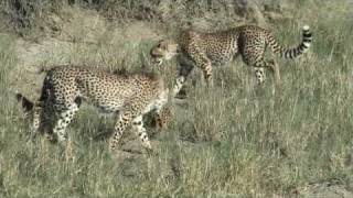 Download Video Serval Vs Cheetahs in Serengeti MP3 3GP MP4