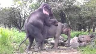 Elephant Mating 9206400 YouTube-Mix