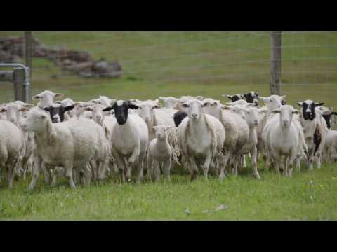 The Western Australian Sheep Industry   Department of Agriculture and Food WA