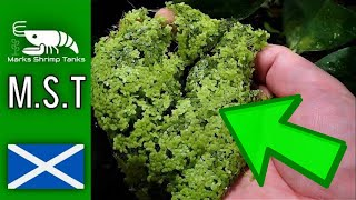 How To Make Shrimp Food From Duckweed 2017