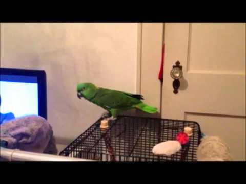 FUNNY Talking Parrot: Clancy- Yellow Naped Amazon *BEST Video*