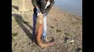yayın balığı  avı tokatalmus