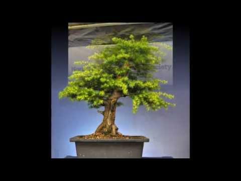 Cedar Bonsai Progression and Styling 2013