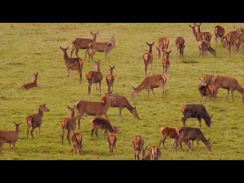 ROYAL HERD OF DEER (królewskie stado jeleni - rykowisko) Windsor Great Park UK (Nikon P900)