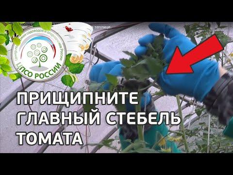 Как прищипывать главный стебель томатов в теплице. Выращивание томатов.