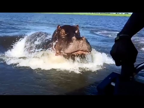 Download HIPPO - Attacks and Funny Moments - Compilation HD Mp4 3GP Video and MP3