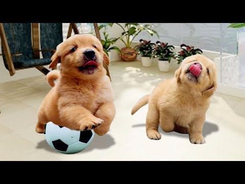 Cute Golden Retriever Puppy Doing Funny Things- Cute Dog Videos