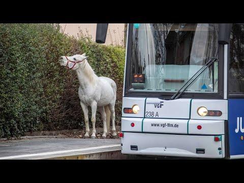 Offizieller Ausgang: Pferd Jenny spaziert durch Frankfurt