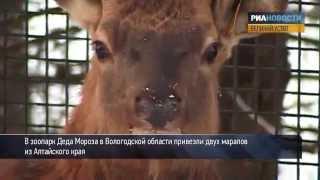 Маралы осваиваются в зоопарке Деда Мороза
