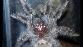 Nita - Curly Haired Tarantula climbing her glass