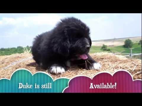 AKC Newfoundland Puppies 9 weeks old
