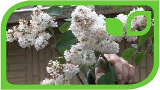 Fliederschnitt nach der Blüte