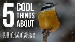 Video 5 Cool Things About Nuthatches MP3, 3GP, MP4, WEBM, AVI, FLV Oktober 2018