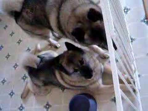 Elkhounds Teddy & Justice just relaxing