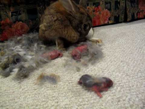 1 Rabbit, 10 bunnies: Ignorant pet owners witness rabbit giving birth