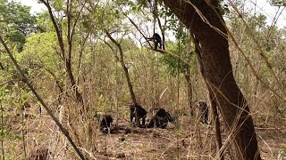 Rare, lethal aggression in African chimps