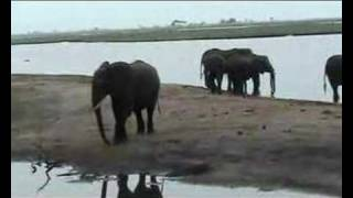 A group of elephants is drinking just before sunset at Chobe River