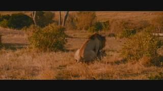 oroszlán párzás