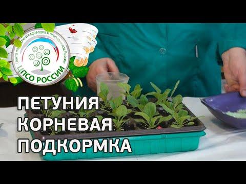 КОРНЕВАЯ ПОДКОРМКА РАССАДЫ ПЕТУНИИ. Выращивание петунии.