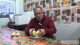 #902 Wie schmeckt die Birne Novembra
