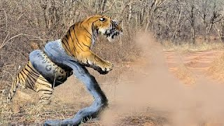 Giant ANACONDA vs TIGER - Python vs Leopard REAL FIGHT !!! full download video download mp3 download music download