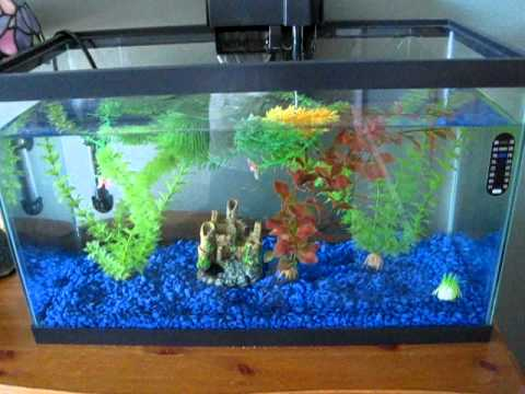 how to breed guppies platies how to breed comet goldfish