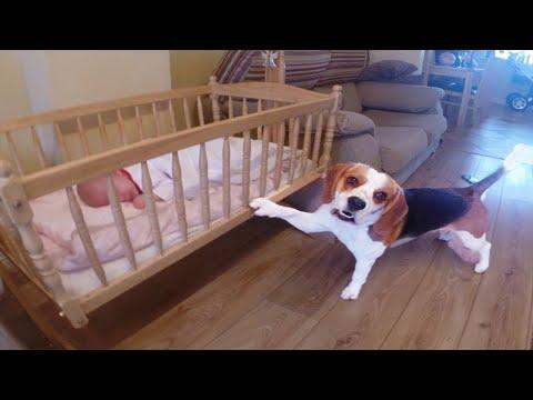 Elkezd sírni a kisbaba, nézd meg te is, hogyan reagál a kutya erre!