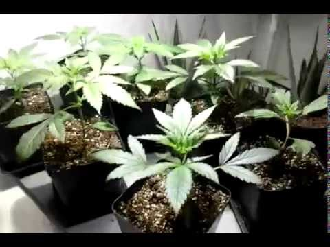 Basement grow Cheese plants