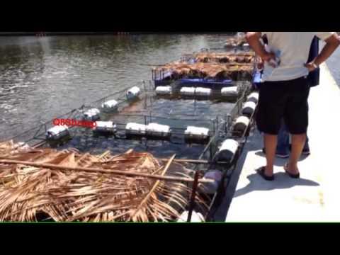 Shrimp Farming 1