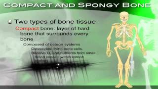 The Skeletal System, Its Structure And Function - Section 34.2